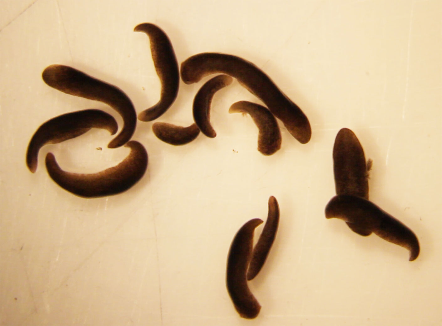 flatworms from space station fig3c