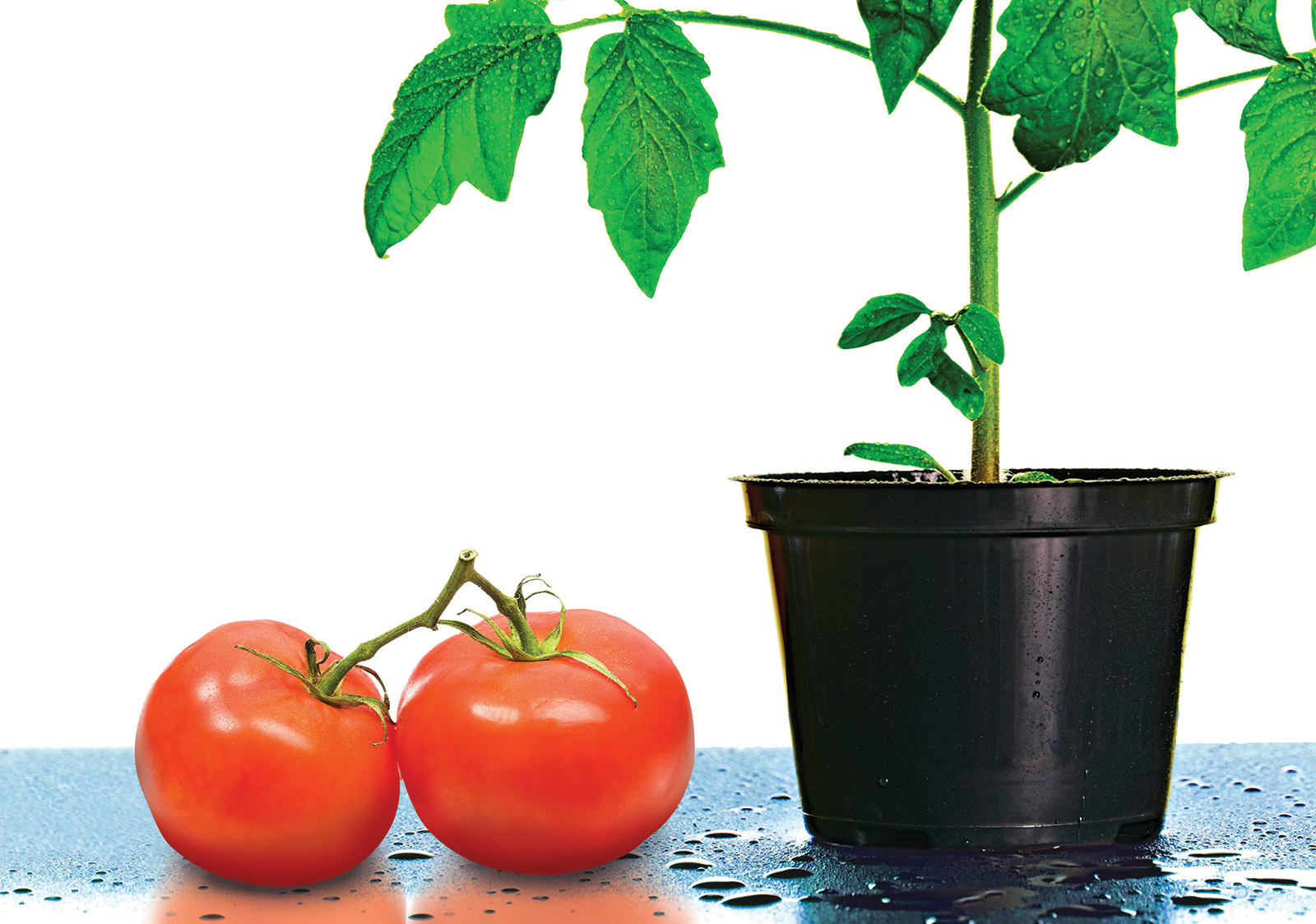 tomatosphere feature post image